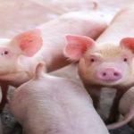 Rent A Pig